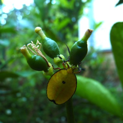 Tahitian baby limes with stink bug