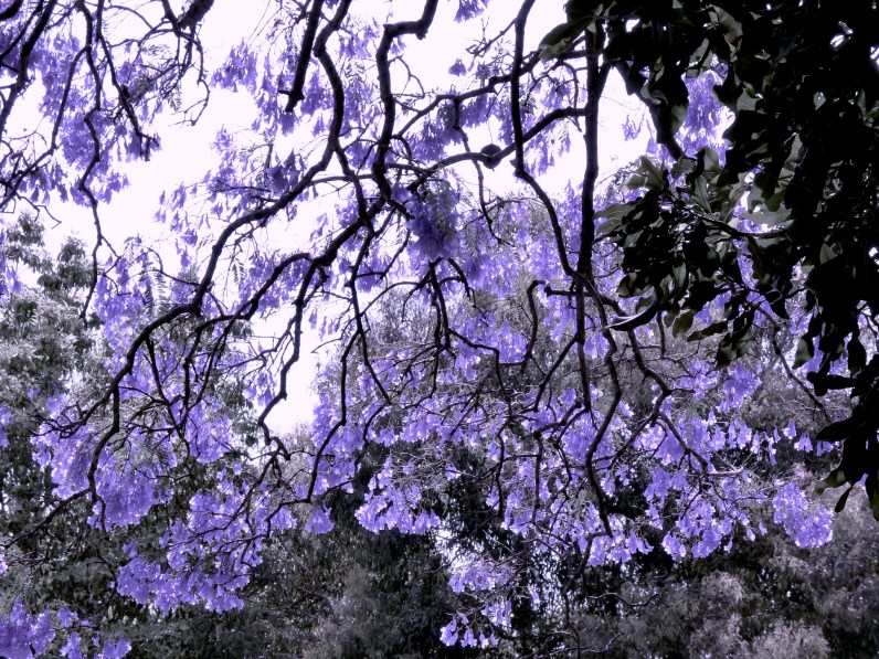 The rhizomatic city of jacarandas