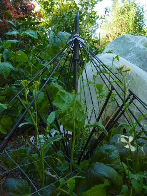 Old umbrella frame protecting salad greens