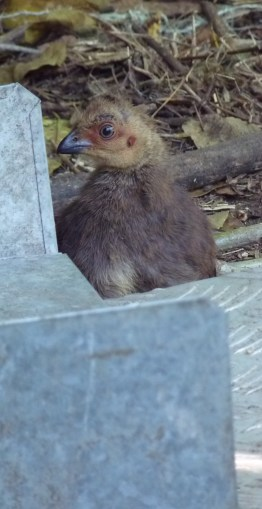 Brush turkey chick on the alert