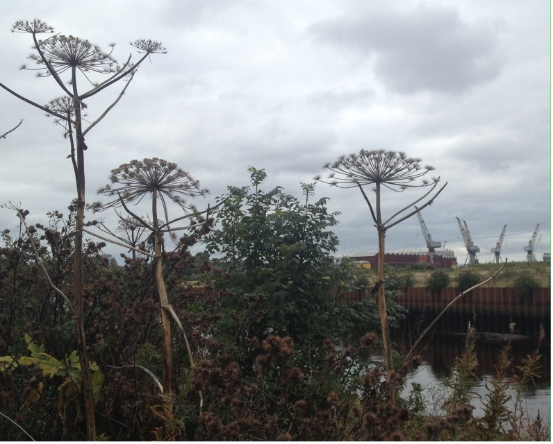 Clydeside in late autumn. Ideal habitat for kale.