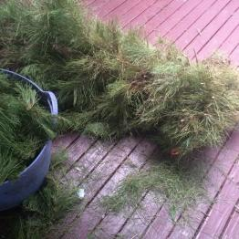 Partially composted Christmas tree