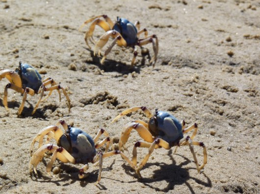 The light blue soldier crab, Mictyris longicarpus