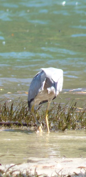 White faced heron hunting at low tide
