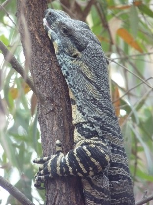 Lace monitor. Okay, we see these at home too.
