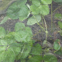 Strawberry plants just slightly oppressed by trampoline netting. Maybe I will get the occasional strawberry now.