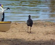 Purple swamp hen unperturbed by a flotilla of canoes