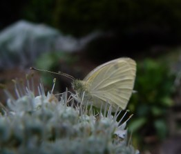 Butterfly visiting a shallot flower - is it a cabbage white?