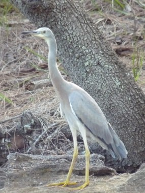 Very patient and faintly curious juvenile white faced heron
