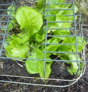 Lettuce in captivity