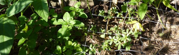 Purslane keeping company with oregano and snakebeans