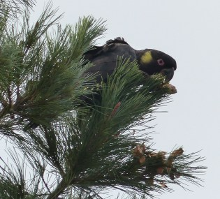 A male yellow tailed black cockatoo enjoying a pine cone in the neighbours' yard
