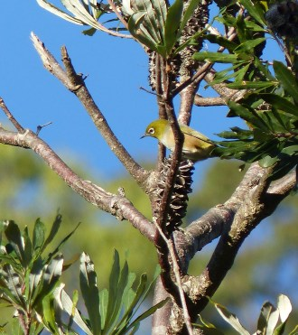 Silvereye in banksia crop