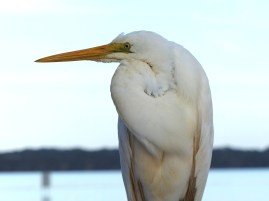 Eric the Egret on the Bombah Point Ferry