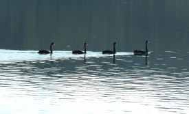 Black swans in Narrabeen Lagoon