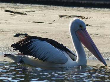 Pelican at sandbar small