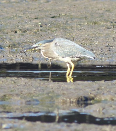 Striated heron enjoying the happy moment of having caught something