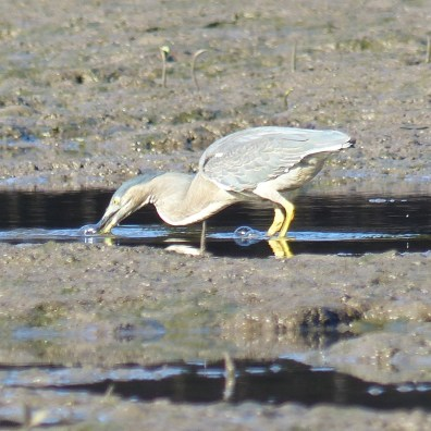 Striated heron fishing