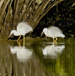 White faced heron pair in breeding regalia