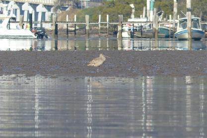 Knackered looking Eastern Curlew