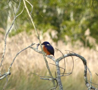Almost decent picture of a shy azure kingfisher