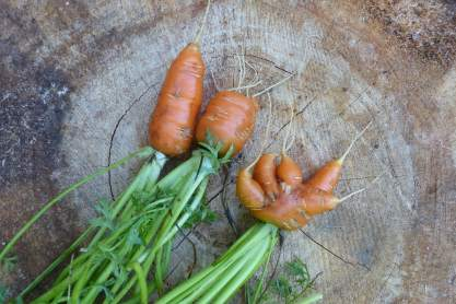 Abbreviated carrots