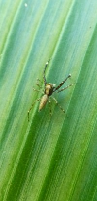 Spider on tumeric plant