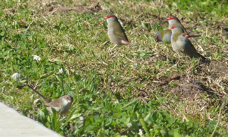 Firetails alert plus wren crop closer