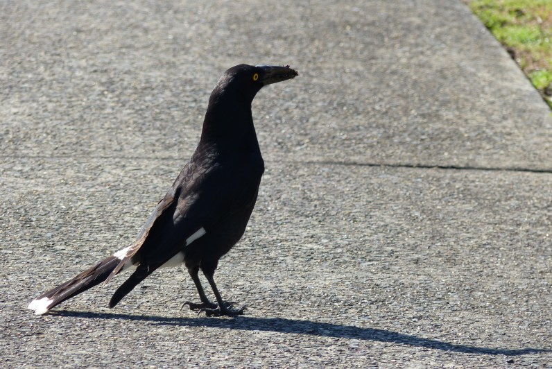Pied currawong on pavement
