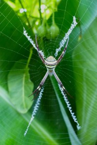 Spider and banana tree for enrichment