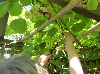 Pollinating kiwifruit