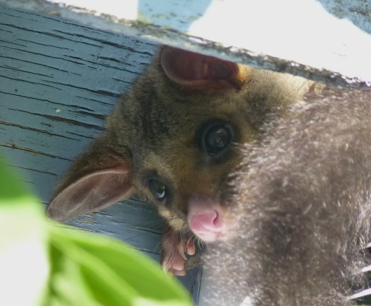 peeping possum cropped berowra backyard