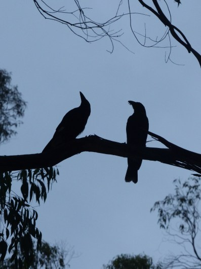 Currawongs at the camp site
