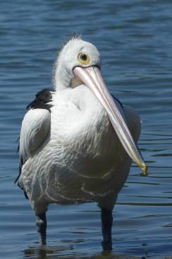 """You looking at me?"" - pelican at Parsley Bay"