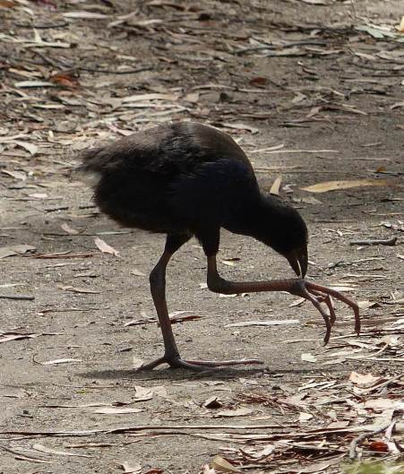 Juvenile purple swamp hen with giant feet