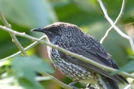 Little wattlebird in the backyard