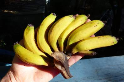Literally a hand of bananas