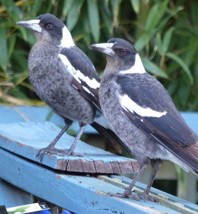 Synchronised posing from juvenile magpies