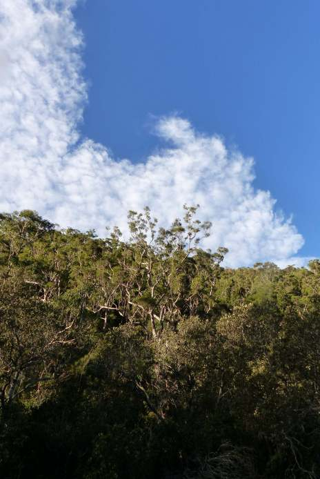 Magnificent eucalypts and winter sky