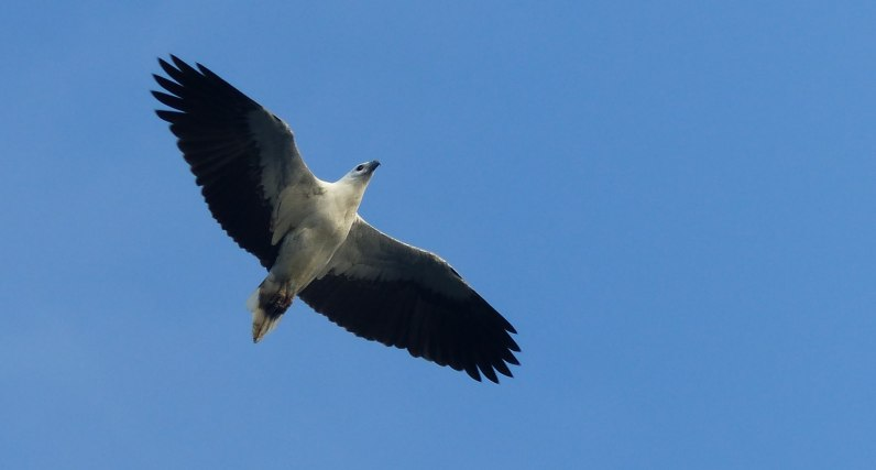 White bellied sea-eagle takes off