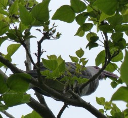 Channel billed cuckoo spotted in the garden last year