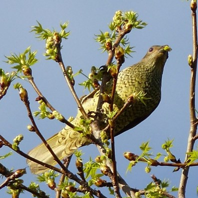 "Jaunty ""green"" bowerbird"