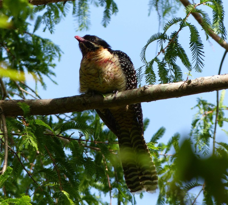 female-koel-with-red-beak-square