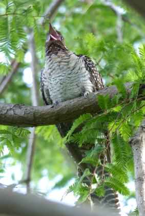 Female koel calling