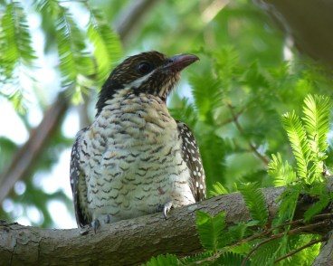 Female koel with unstained chest