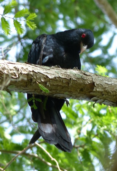 Curious male koel
