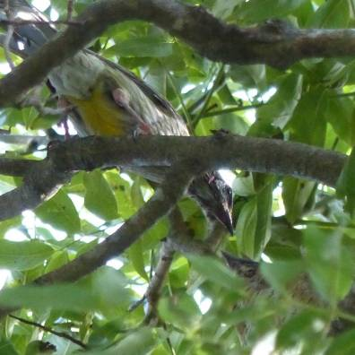 wattlebird-about-to-feed-for-crop-square-tighter