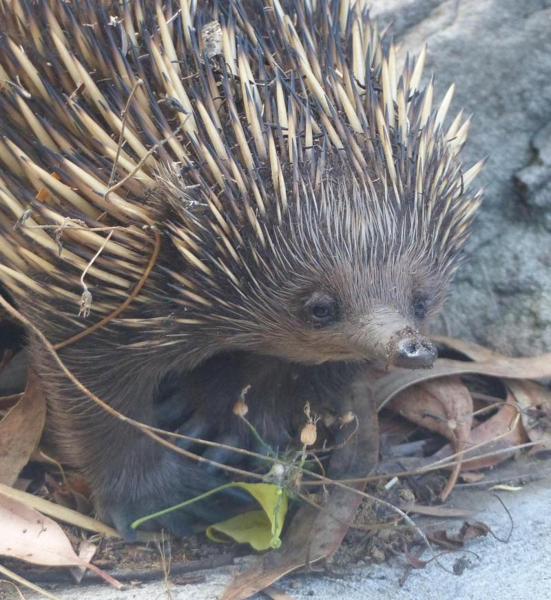echidna-great-face-for-crop-2-small