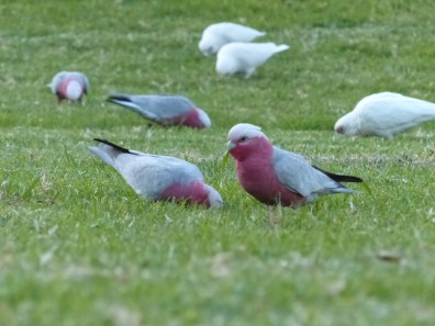 Galah with pack of little corellas