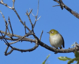 Silvereye at Terry's Creek